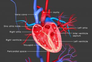 Copper Deficiency Found in Heart Tissue of Friedreich's Ataxia Patients