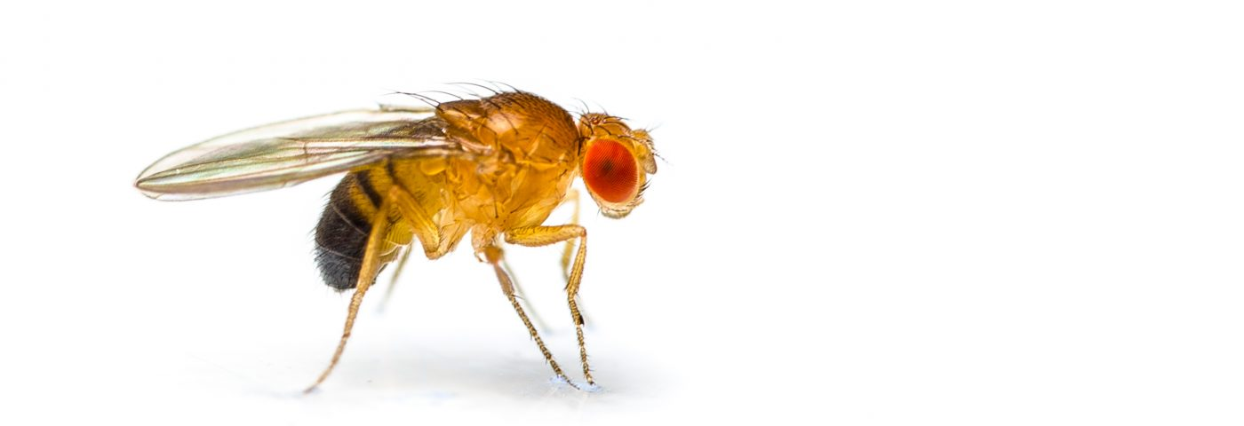 Gene Mutation in Friedreich's Ataxia Fruit Flies Caused Iron Toxicity, Death of Brain Cells