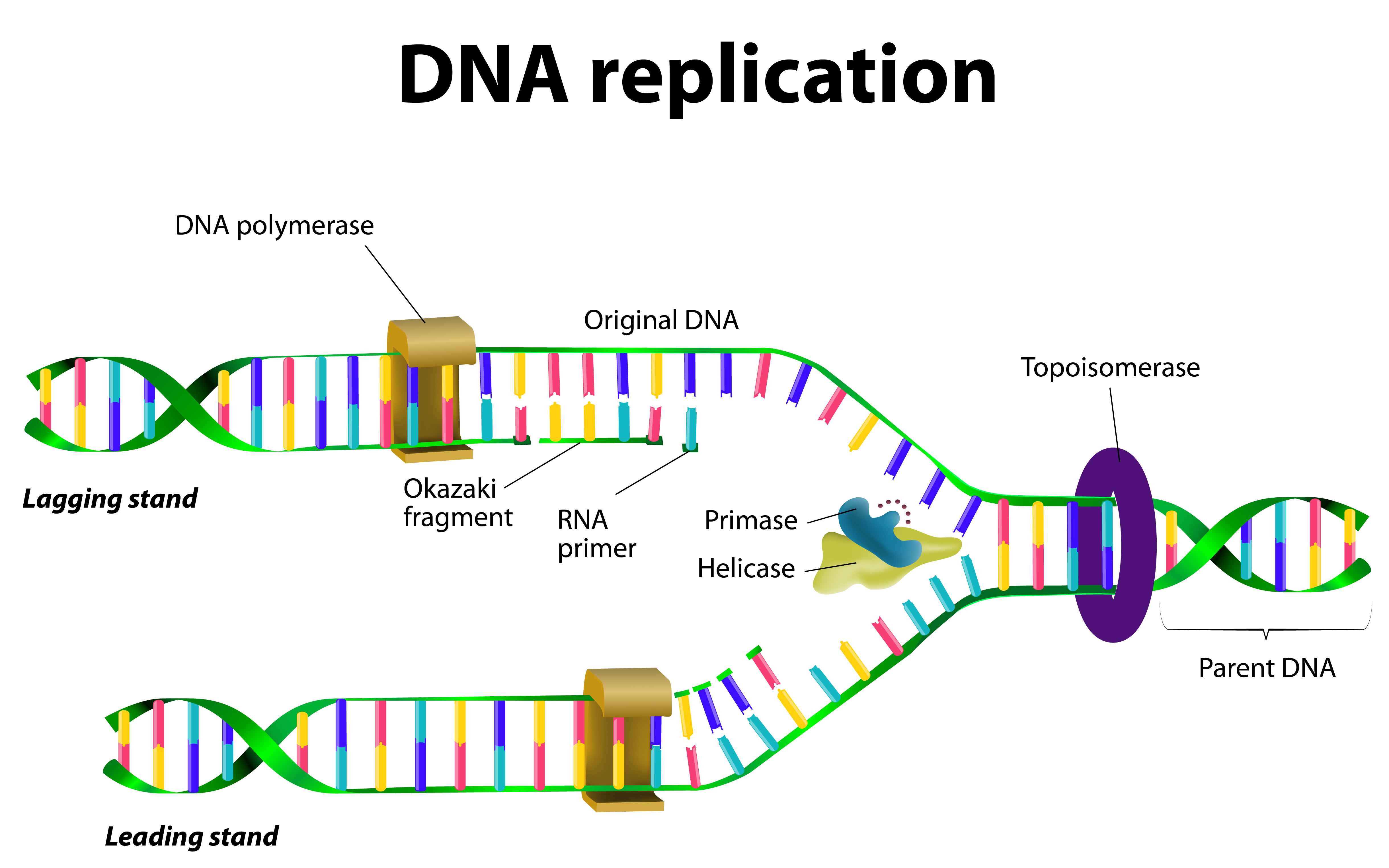 study unravels steps in mutation that causes friedreich 39 s ataxia friedreich 39 s ataxia news. Black Bedroom Furniture Sets. Home Design Ideas