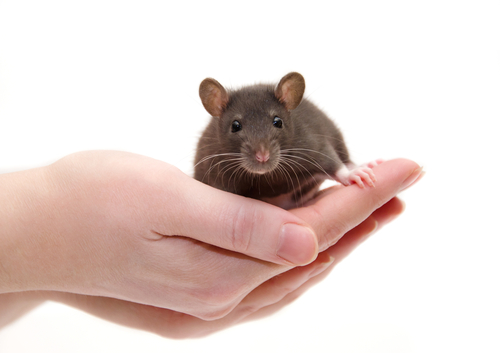 Symptoms of FA Largely Reversed in New Mouse Model, Study Shows